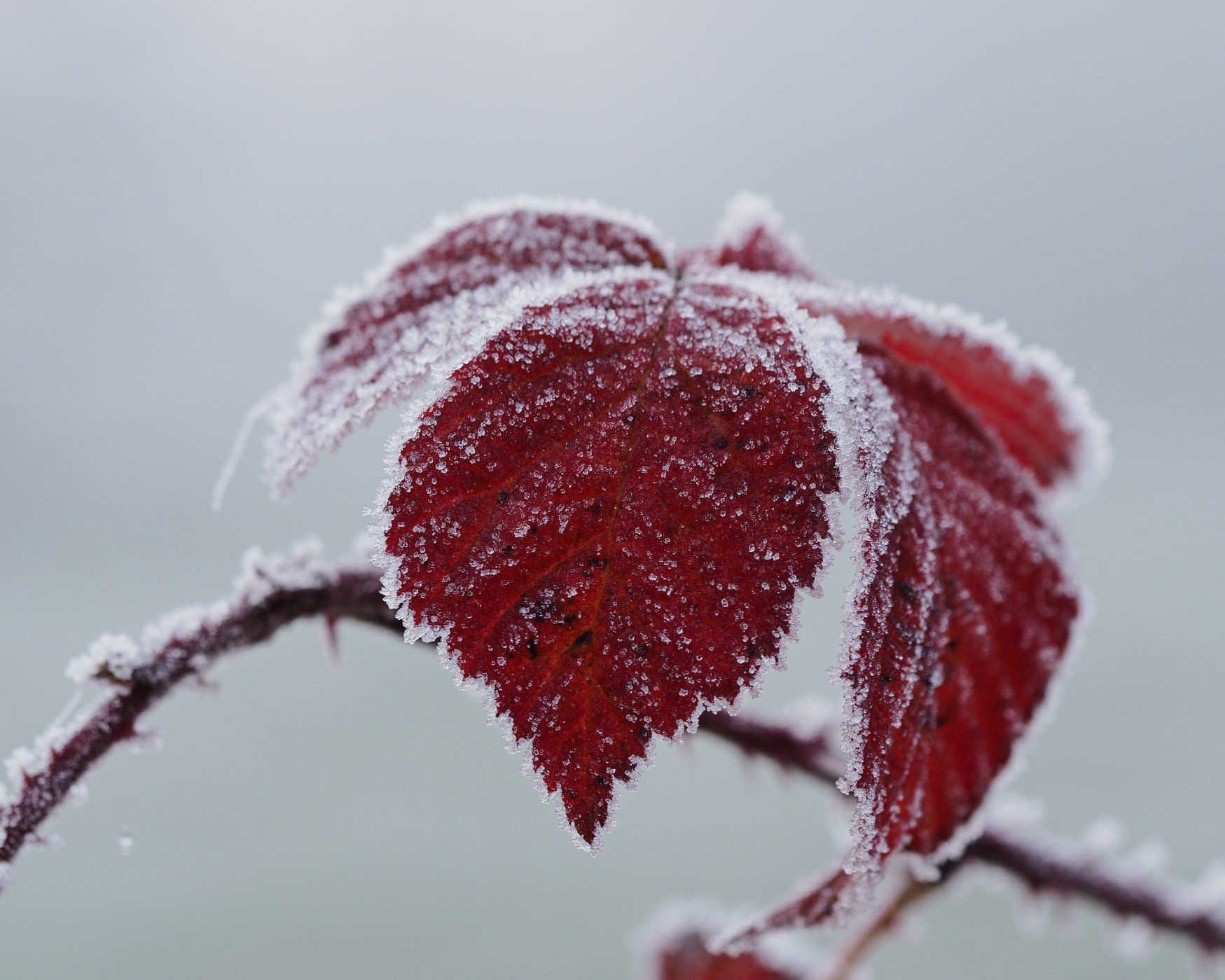 Frost über Blätter